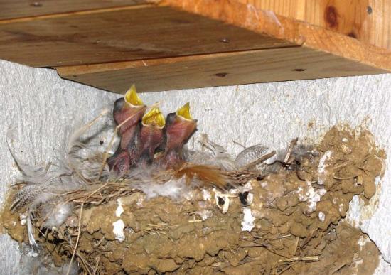 Naissances de trois petites hirondelles le 17 juin 2010